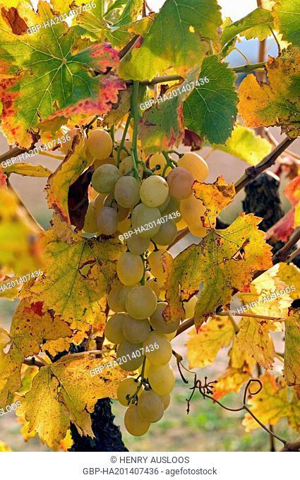White Grape - Autumn - France, Europe - November 2007