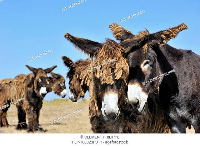 Poitou donkeys / Poitevin donkey / baudet de Poitou with shaggy coat in field on the island Ile de Ré, Charente-Maritime, France