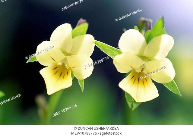 Field PANSY - Close study of flowers (Viola arvensis)