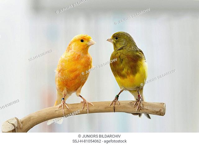 Domestic canary. Two birds of different colour perched on a twig. Germany