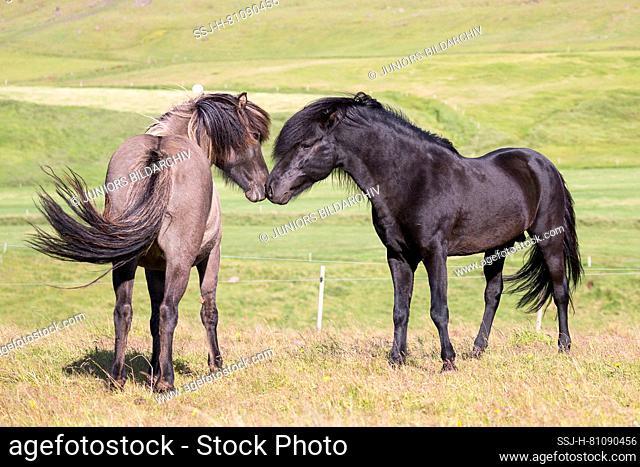 Icelandic Horse. Black stallion courts a dun mare. Iceland