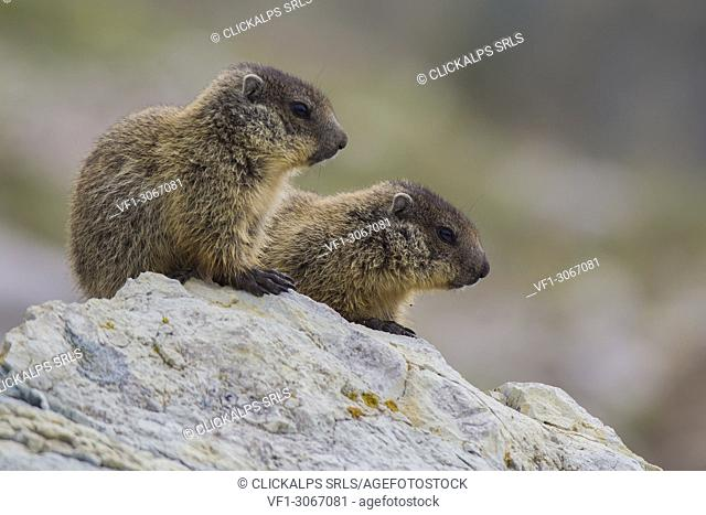 Young marmots on the rock, italian alps, Piedmont, Italy, Europe