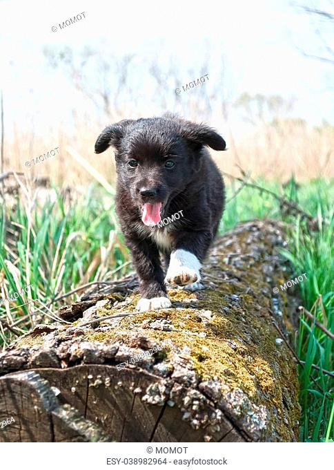 A cute male cream and black nosed Alsatian or German Shepard cross puppy or dog that has his paws resting on a log looking into the distance with nature in the...