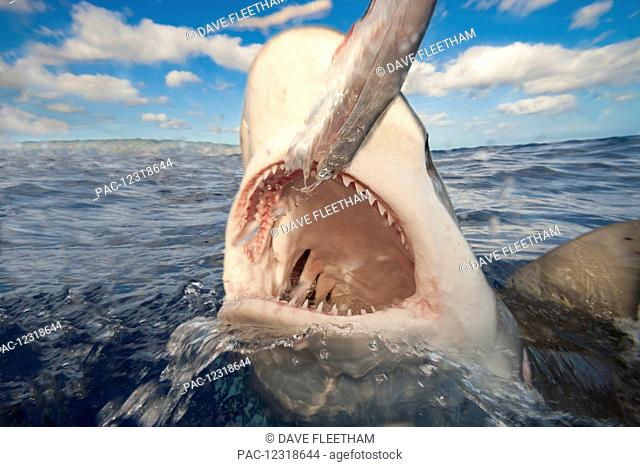 """Galapagos shark (Carcharhinus galapagensis) can reach twelve feet in length and is listed as """"potentially dangerous""""; Hawaii, United States of America"""