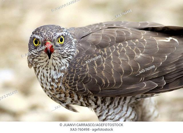 Sparrowhawk (Accipiter nisus) with blood in beck