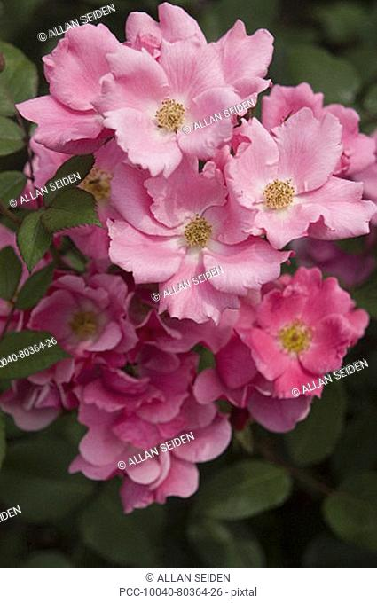 Beautiful pink roses growing in a garden