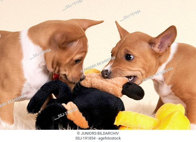 Basenji. Two puppies (7,5 weeks old) tearing at a plush toy. Studio picture against a white background