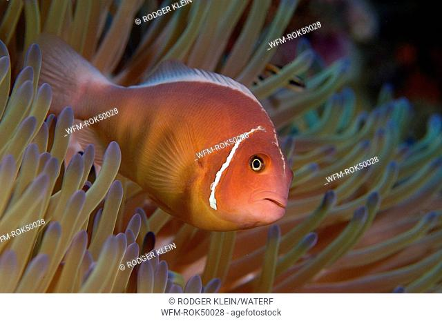 white-maned anemonefish, Amphiprion perideraio, Great Barrier Reef, Australia