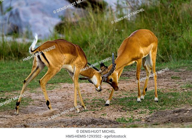 Kenya, Masai Mara national reserve, Impala (Aepyceros melampus), males fighting