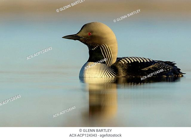 Pacific Loon (Gavia pacifica) feeding on a small pond on the tundra in Northern Alaska