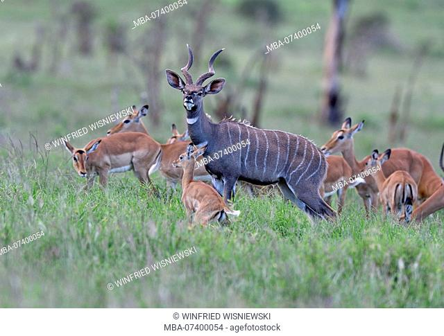 Lesser kudu, Ammelaphus imberbis, in the blooming grass, surrounded by female impala, Lion's Bluff, Tsavo National Park, Kenya