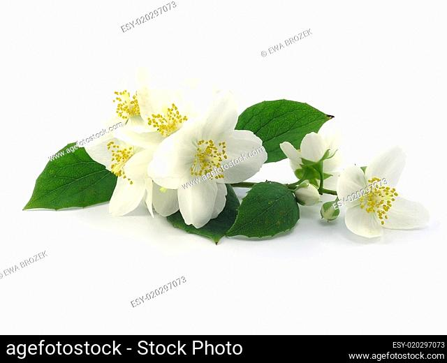 series flowers: branch of fresh jasmine
