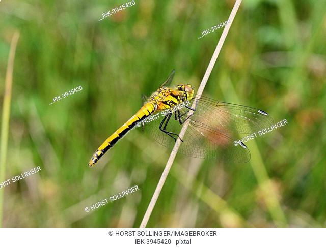 Ruddy Darter (Sympetrum sanguineum), juvenile, dries wings on rush after hatching, Bavaria, Germany