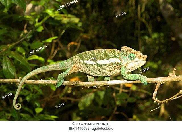 Calumma globifer Chameleon, endemic, Madagascar, Africa