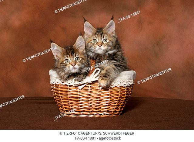 2 Maine Coon kitten in basket