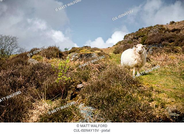 Portrait of a sheep on hillside, Porthmadog, Wales, UK