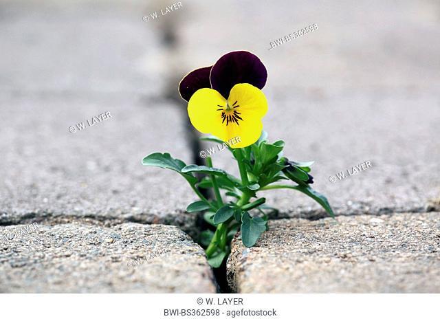 Pansy, Pansy Violet (Viola x wittrockiana, Viola wittrockiana, Viola hybrida), naturalized on a pavement