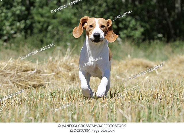 A Beagle dog running in a field