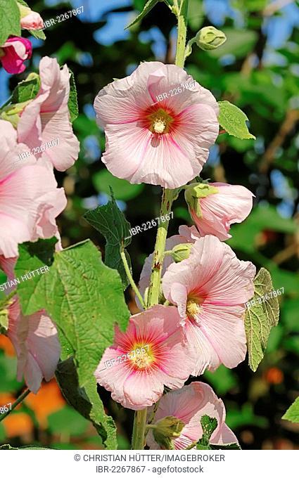 Common hollyhock (Alcea rosea, Althaea rosea, Althaea chinensis), garden plant, North Rhine-Westphalia, Germany, Europe