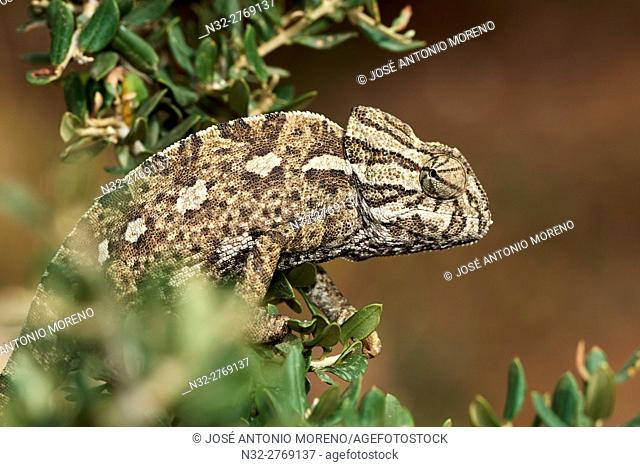 European Chamaleon (Chamaeleo chamaeleon) on a tree branch. Benalmadena, Malaga Province, Andalusia, Spain