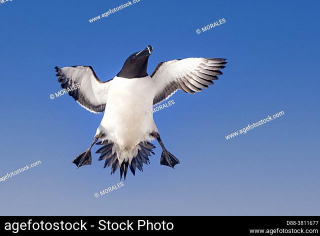 Europe, Scandinavia, Norway, Varanger Fjord, Vardø or Vardo, Island of Hornøya, protected island with large colonies of seabirds