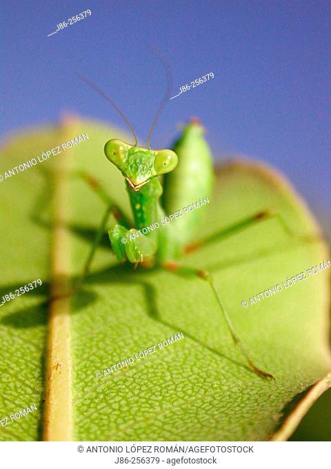 Nymph of Praying Mantis (Mantis religiosa)