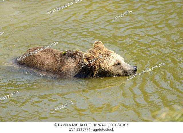 Close-up of a brown bear (Ursus arctos) swimming in a little lake in spring