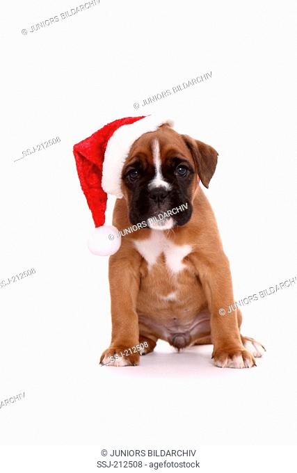 German Boxer. Puppy (6 weeks old) sitting, wearing Santa Claus hat. Studio picture against a white background. Germany