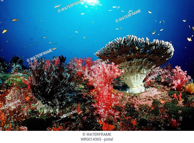 Coloured Coral Reef, Similan Islands, Thailand