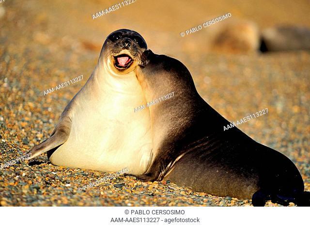 Seal, Southern Elephant Seal, Mirounga Leonina, pups playing, Peninsula Valdes, Patagonia, Argentina, South America, South Atlantic
