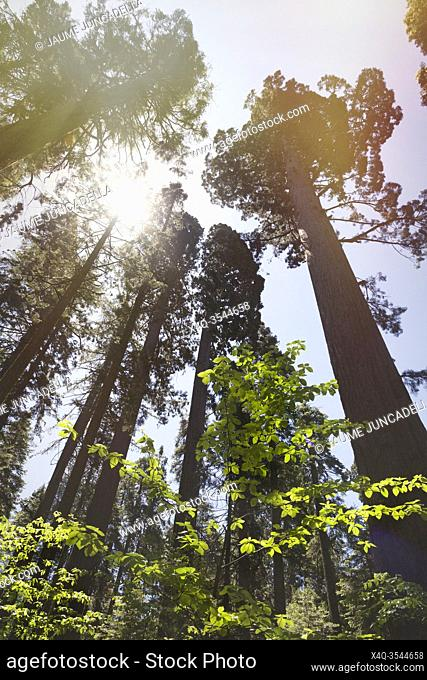 Sunlight flares over the Sequoia in the Big tree park natural. Arnold, California, USA