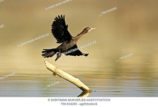 Little cormorant (Phalacrocorax niger). India