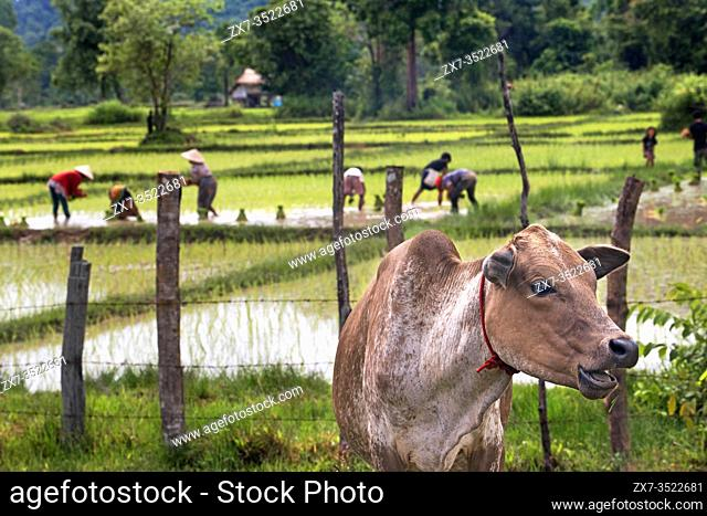 Cow and people working in the ricefiel plantation near Pakse, Laos