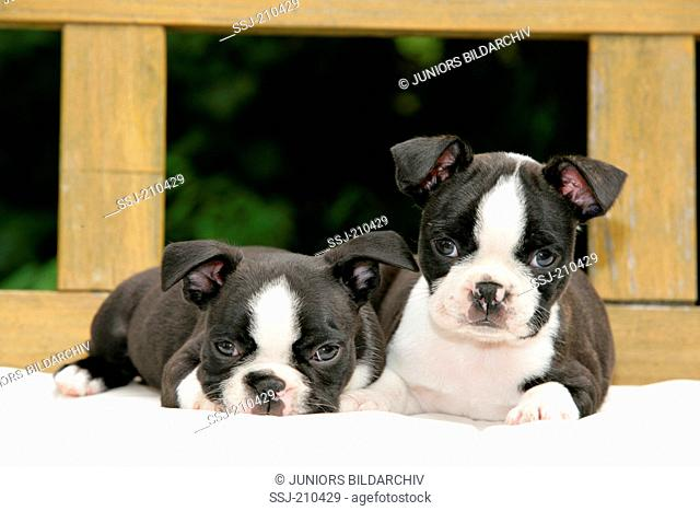 Boston Terrier. Two puppies lying on a wooden bench. Germany