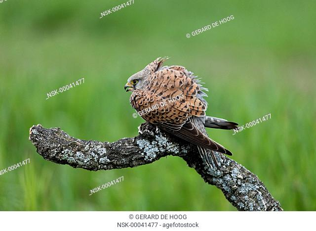 Common Kestrel (Falco tinnunculus) female on a branch, Spain, Extremadura, Calera y Chozas