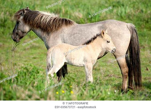 Wild filly with his mother are enjoying the sun