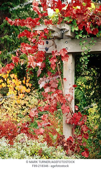 'Purpurea' Grapevine (Vitis vinifera 'Purpurea') on pergola. Bellevue Botanical Garden. Washington. USA