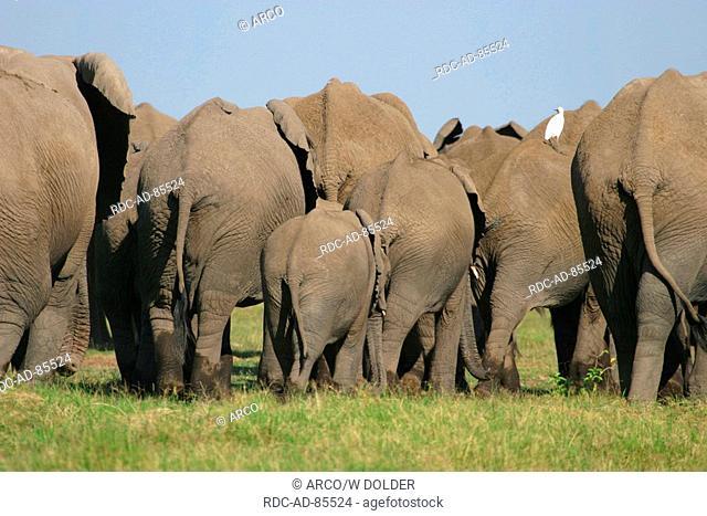 African Elephants with Cattle Egret Loxodonta africana Bubulcus ibis