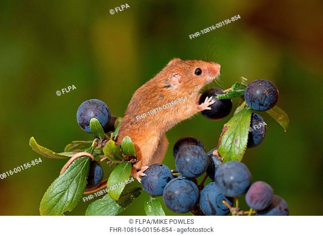Harvest Mouse Micromys minutus adult, climbing on Blackthorn Prunus spinosa fruit, Norfolk, England, august