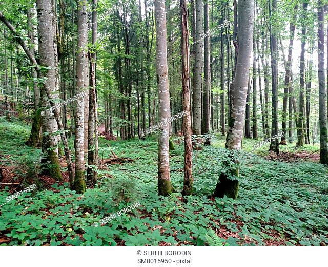 Beech green forest background with trees at spring season nature