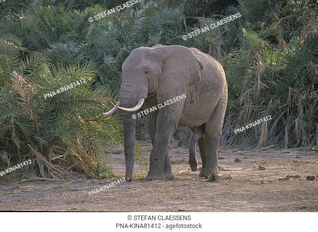 African elephant Loxodonta africana - Amboseli National Park, Kenya, Africa