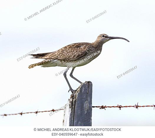 Whimbrel standing on a wooden pole - Summer in Iceland