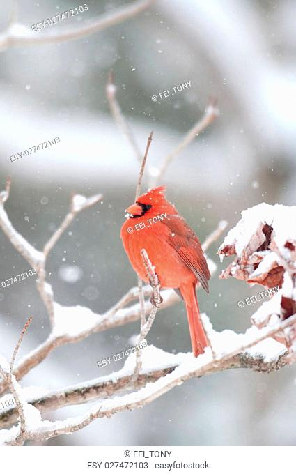 Northern cardinal sits perched on a snow covered branch following winter storm
