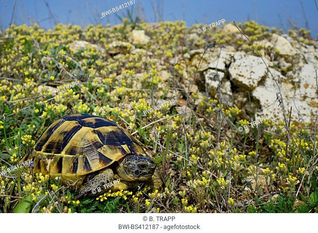 Eurasian Spur-thighed tortoise, Mediterranean spur-thighed tortoise, Common tortoise, Greek tortoise (Testudo graeca ibera, Testudo ibera)