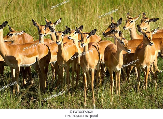 Close up view of group of female impalas standing in soft evening light, Maasai Mara, Kenya