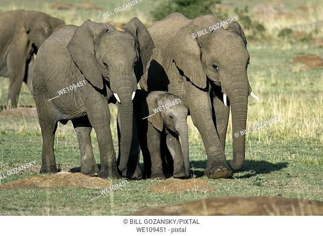 African Elephant - Masai Mara National Reserve, Kenya