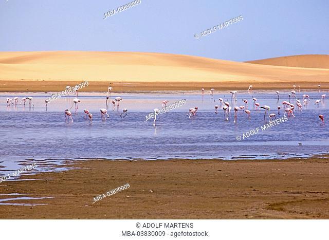 Africa, Namibia, Namib desert, Atlantic coast, Walvis Bay, flamingos, Greater flamingo, Phoenicopterus ruber