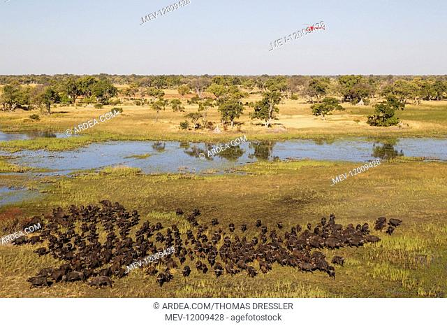 Cape Buffalo - herd at a marsh area - the helicopter is on a scenic flight - aerial view - Okavango Delta, Moremi Game Reserve, Botswana