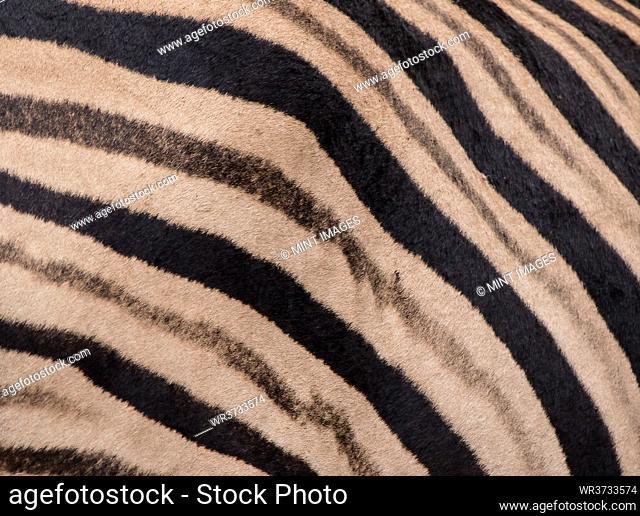 The stripes of a zebra, Equus quagga