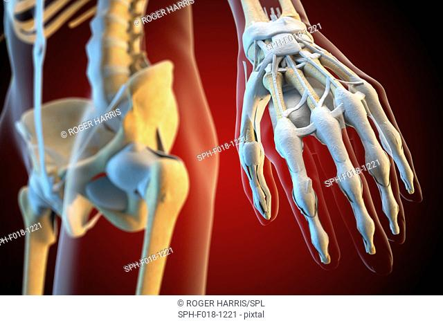 Ligaments of the human hand, illustration